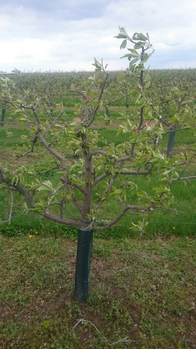 jabloň před květem