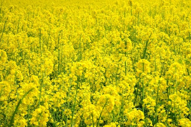field-of-rapeseeds-474516